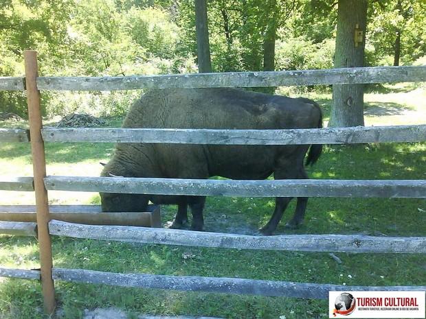 Bucsani Zimbraria Neagra liderul zimbrilor