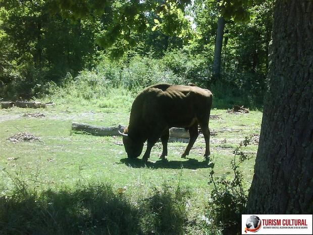 Bucsani Zimbraria Neagra zimbru matur
