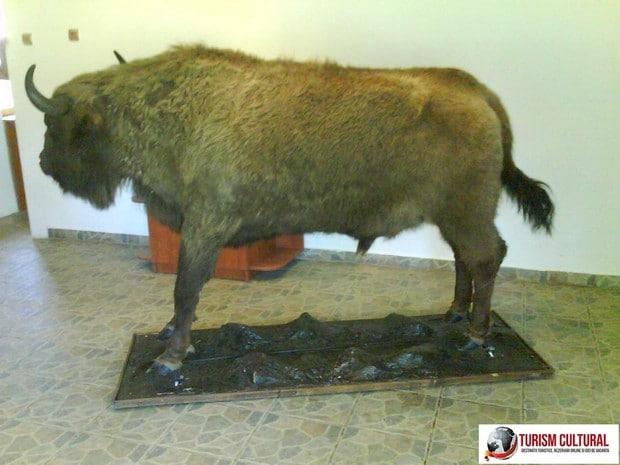 Bucsani Zimbraria Neagra zimbru impaiat aflat intr-o incapere separata